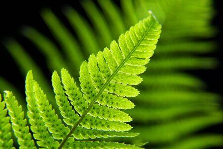 brake fern: fern in the light