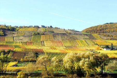 winegrowing: vineyards near Reil Stock Photo