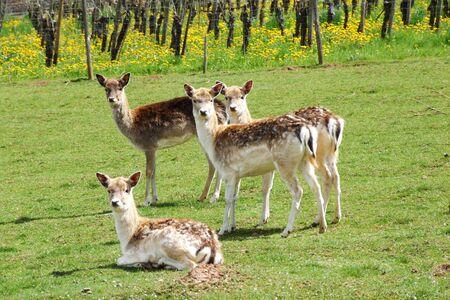 fallow deer: Fallow deer in spring