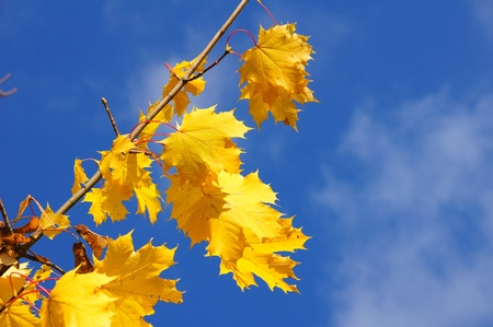 norway maple: yellow maple leaves