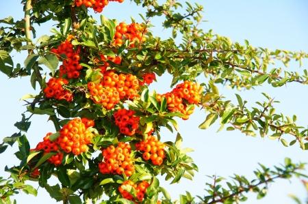 rote: reife rote Beeren am Feuerdorn