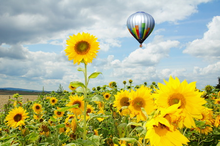 Hot air balloon over sunflowers field Stock Photo