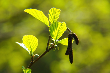 young alder leaves in backlight