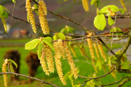 yellow hornbeam flowers with bright green young leaves macro Reklamní fotografie
