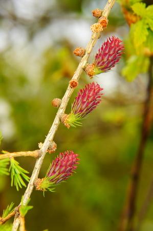 Macro de bourgeon de mélèze rouge