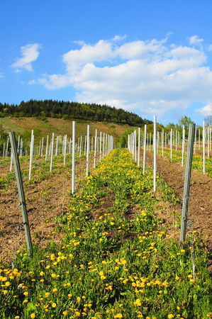 newly created vineyard on the Moselle with dandelion flowers