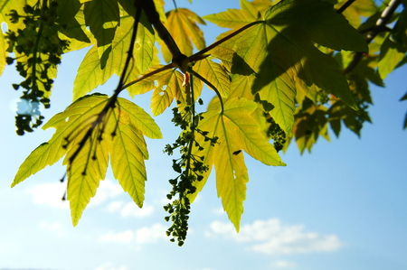 Sycamore leaves and blossoms in backlight