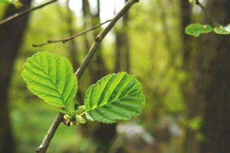 young alder leaves in springtime Banco de Imagens - 87006895