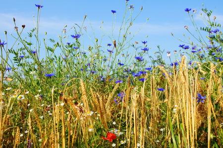 Chamomile, poppies and cornflowers