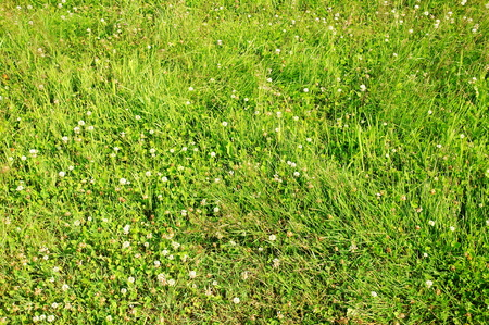 cut lawn with clover