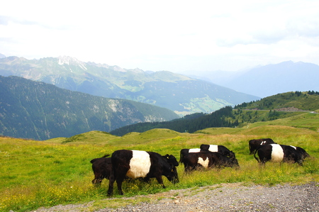 black and white cows at the jaufenpa?e Stock Photo