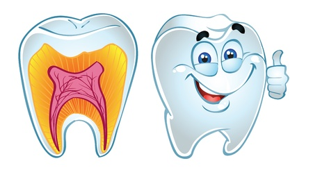 dentist cartoon: tooth smiling and teeth in section  Illustration