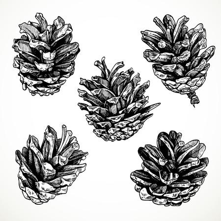 pomme de pin: Pommes de pin de dessin de croquis sur fond blanc