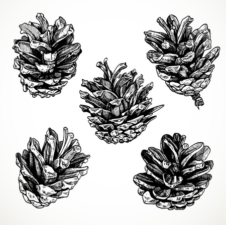 pine needle: Sketch drawing pine cones on white background