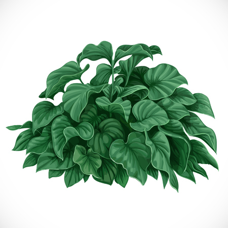 profusion: Vector drawing of decorative Datura bush with large leaves Illustration