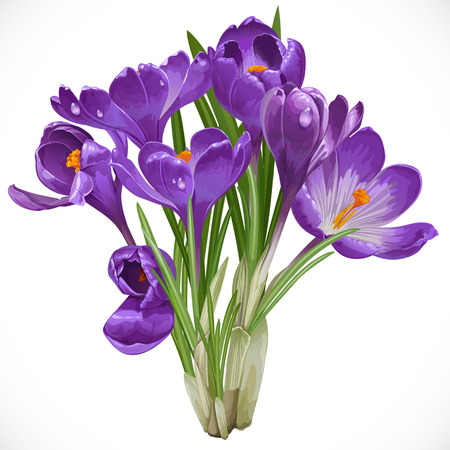 Bouquet of spring purple crocuses on the vine isolated on white background Ilustrace