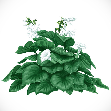 profusion: Vector drawing of decorative Datura bush with large leaves and white flowers