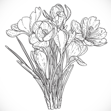 Bouquet of spring crocuses on the vine outline