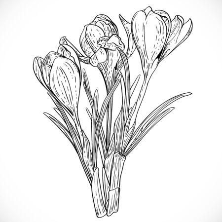 saffron: Outlined bouquet of spring crocuses on the vine