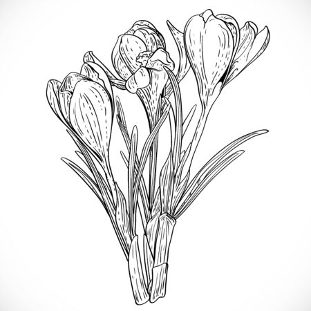 Outlined bouquet of spring crocuses on the vine