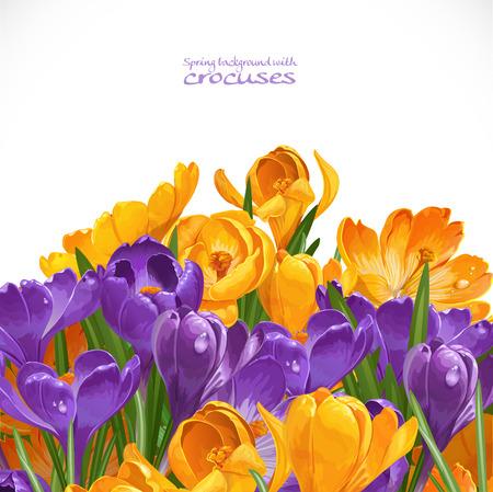 saffron: Spring yellow and violet crocuses background Illustration