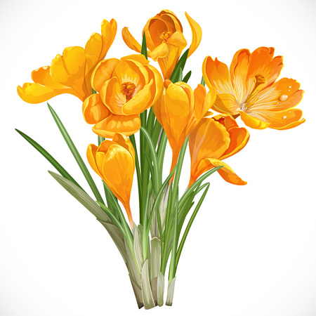 saffron: Spring yellow crocuses on the vine isolated on white background