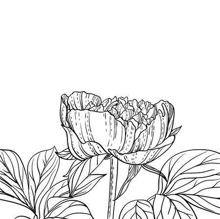 Peonies line art background Иллюстрация