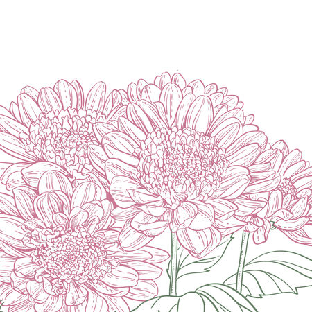 line drawings: Line drawings pink chrysanthemum background Illustration
