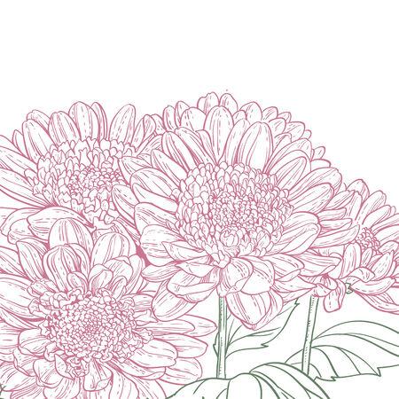 line drawings: Line drawings pink chrysanthemum background Illustration