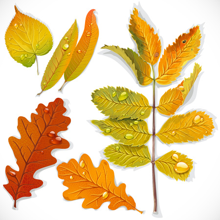 elm: A set 1 of yellow and red autumn leaves isolated on a white background