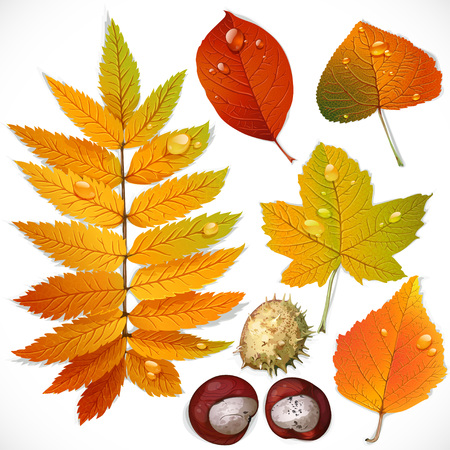 A set of yellow and red autumn leaves and chestnut isolated on a white background Vector