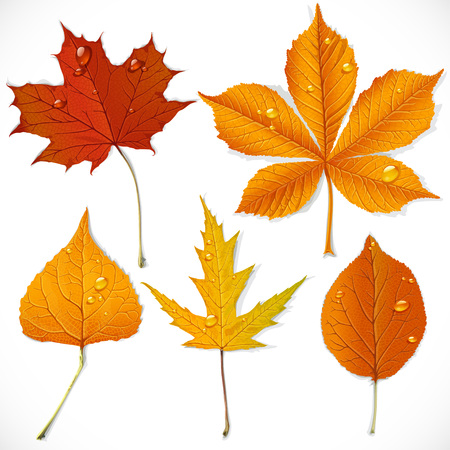 A set of yellow and red autumn leaves isolated on a white background Vector