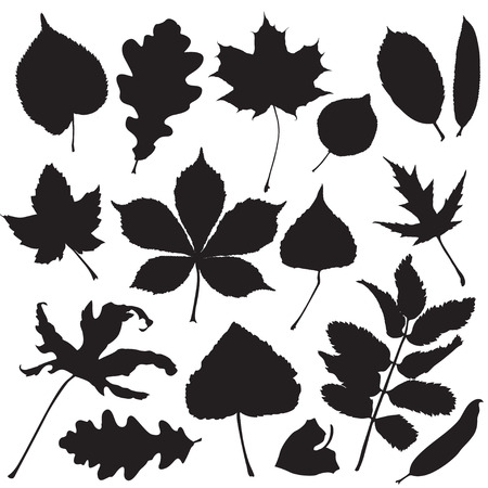 chokeberry: Silhouettes of leaves isolated on white background Illustration