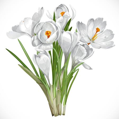 snowdrop: Spring white crocuses on the vine isolated on white background Illustration