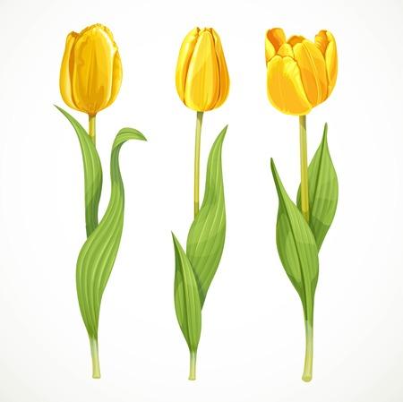 tulipan: Trzy wektora żółtych kwiatów tulipanów na białym tle Ilustracja