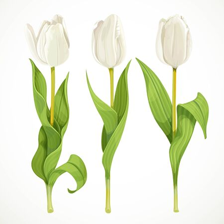 tulips isolated on white background: Three vector white tulips isolated on a white background