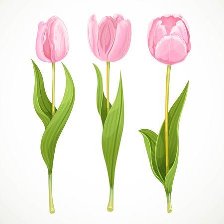 tulipan: Trzy wektorowe różowe kwiaty tulipanów samodzielnie na białym tle Ilustracja
