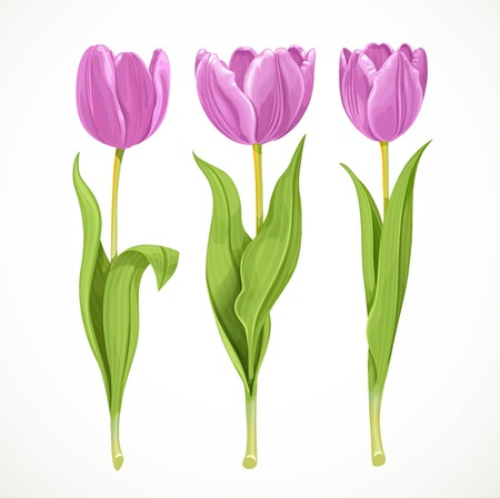 tulips isolated on white background: Three vector purple flowers tulips isolated on a white background