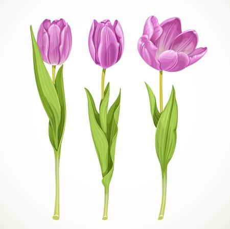 3 個のベクトル白い背景に分離された紫のチューリップ