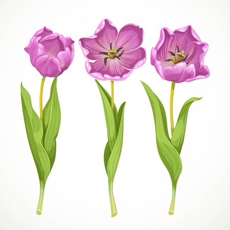 white tulip: Vector purple tulips isolated on a white background