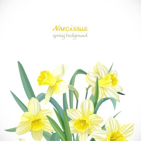 daffodil: Narcissus spring background Illustration