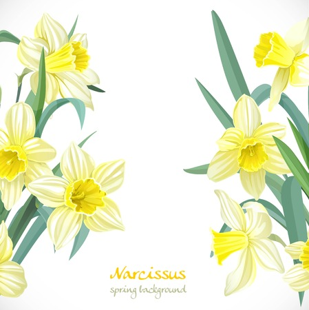 narcissus: Yellow narcissus spring background