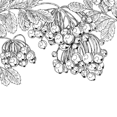 ink drawing: Black ink graphic drawing autumn bunches of Rowan on white background