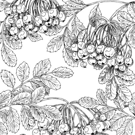 rowan: Black and white graphic drawing autumn bunches of rowan Illustration