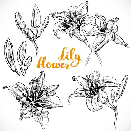 white lilly: Drawing lily flowers and buds ink on white paper set 1 Illustration
