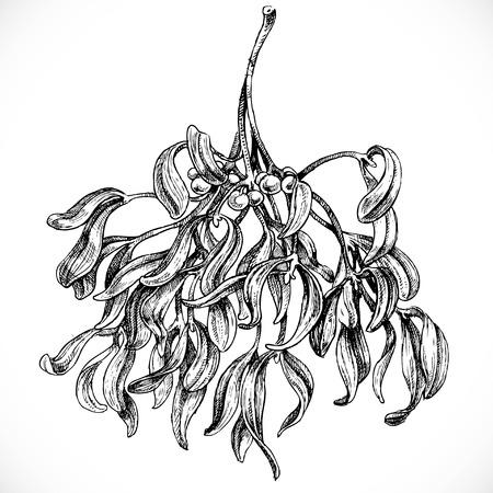 Schwarz-Weiß-Grafik Zeichnen von Mistel Standard-Bild - 45727056