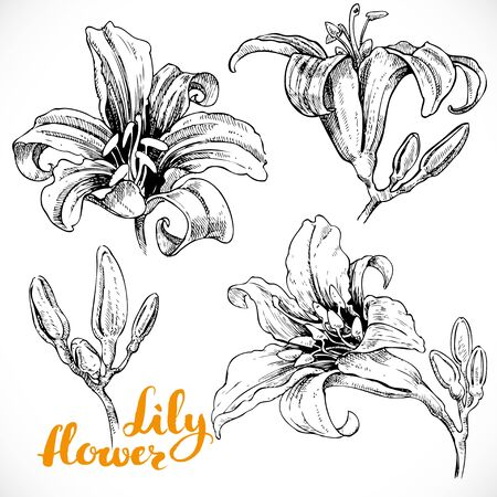 ink drawing: Drawing lily flowers and buds ink on white paper set