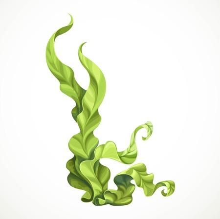 Marine green algae object isolated on white background