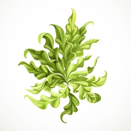 Marine green algae object 2  isolated on white background Illustration