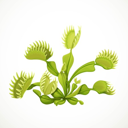 Dionaea muscipula realistic vector illustration isolated on white background